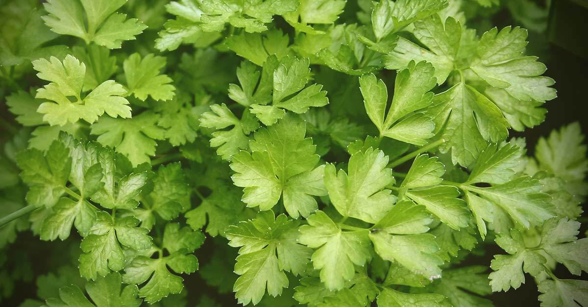 Little Known Health Benefits of Cilantro