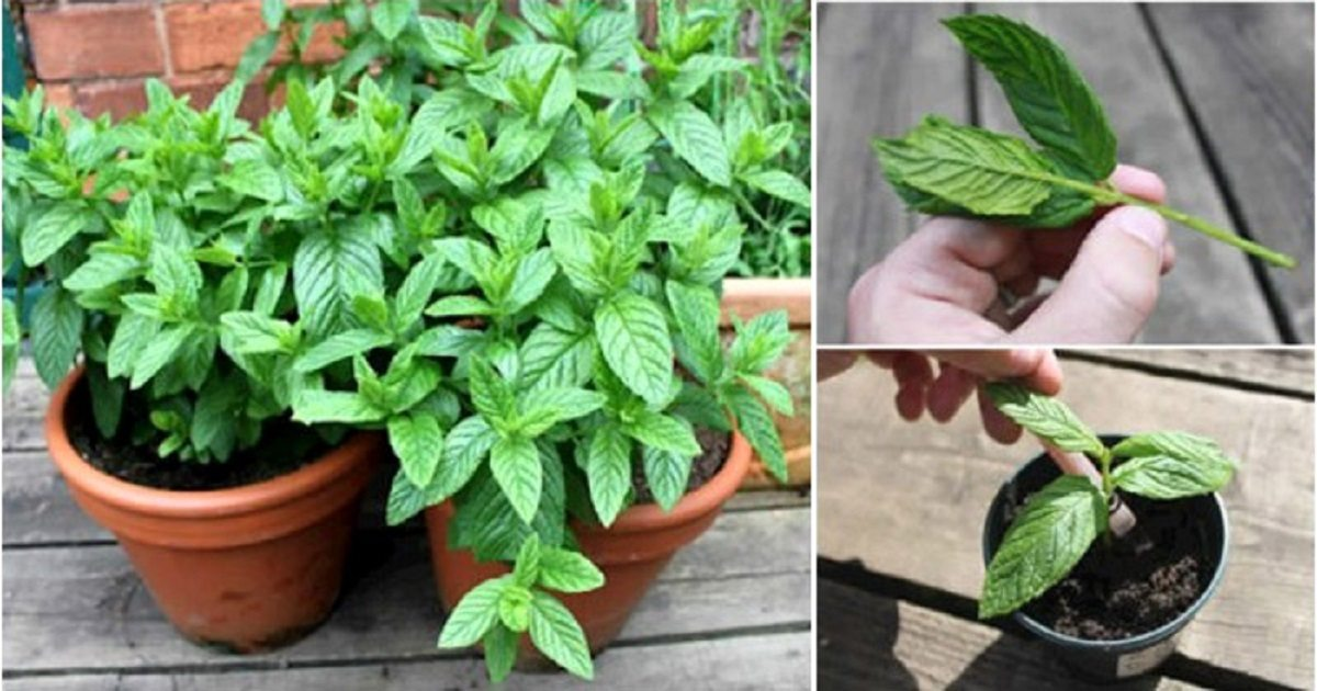 12 Health Benefits Of Mint & How To Grow It At Home