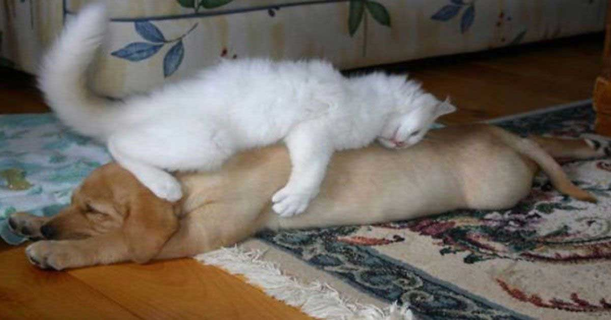 10 Funny Photos of Cats Using Dogs as Pillows