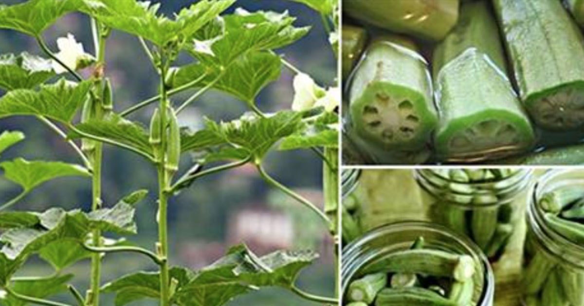 Soak Okra In A Glass Of Water And Consume It, The Benefits Are Incredible