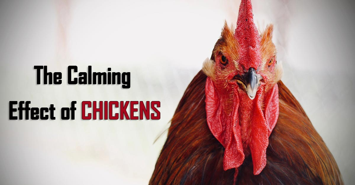 How Can Chickens Transform The Lives of Those with Anxiety, Depression, and Loneliness 1